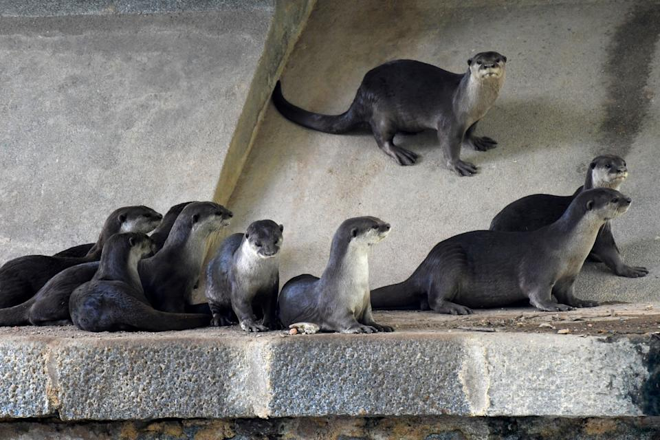 This photograph taken on May 29, 2020 shows a bevy of smooth-coated otters next to a canal in Singapore. - Singapore's otters, long adored by the city-state's nature lovers, are popping up in unexpected places during the coronavirus lockdown but their antics have angered some and even sparked calls for a cull. (Photo by Roslan RAHMAN / AFP) / TO GO WITH Singapore-animal-environment-health-virus, FOCUS by Caterine LAI (Photo by ROSLAN RAHMAN/AFP via Getty Images)