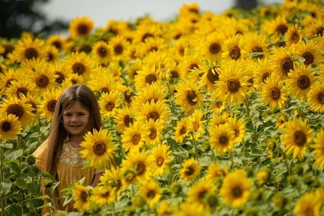Meadow Bartleet, five, poses for a picture as visitors enjoy the warm weather at the sunflower fields at Becketts Farm, Birmingham