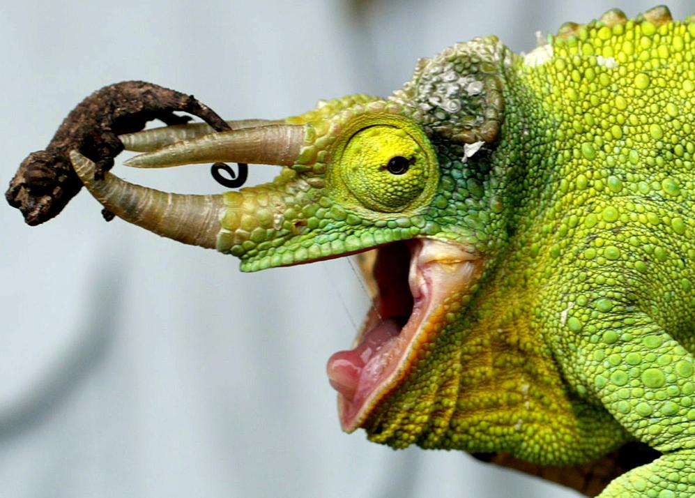 A newly born Jackson's Chameleon rests on its dad's horns in the serpentaria at Taronga Zoo in Sydney, Australia, Monday, Sept. 23, 2002