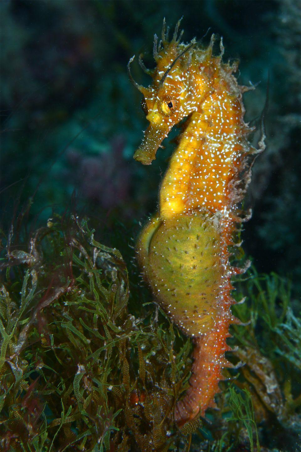 <p>You read that right. Male seahorses have pouches on their stomachs for carrying babies—as many as 2,000 at a time. The female deposits her eggs in the male's pouch, which results in him carrying a pregnancy that lasts from 10 to 25 days (depending on the species), and ultimately giving birth.</p>