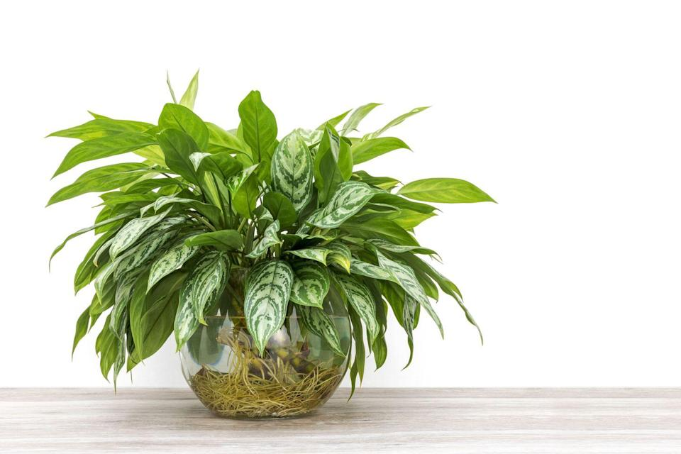 "<p>Aglaonema like to be in temperatures above 16°C and need a regular misting. They also cope well in low light, making them good for shady corners. Keep away from draughts. </p><p><a class=""link rapid-noclick-resp"" href=""https://go.redirectingat.com?id=127X1599956&url=https%3A%2F%2Fwww.crocus.co.uk%2Fplants%2F_%2Faglaonema-cutlass%2Fclassid.2000032037%2F&sref=https%3A%2F%2Fwww.countryliving.com%2Fuk%2Fhomes-interiors%2Finteriors%2Fg33454786%2Fbathroom-plants%2F"" rel=""nofollow noopener"" target=""_blank"" data-ylk=""slk:BUY NOW"">BUY NOW</a></p>"