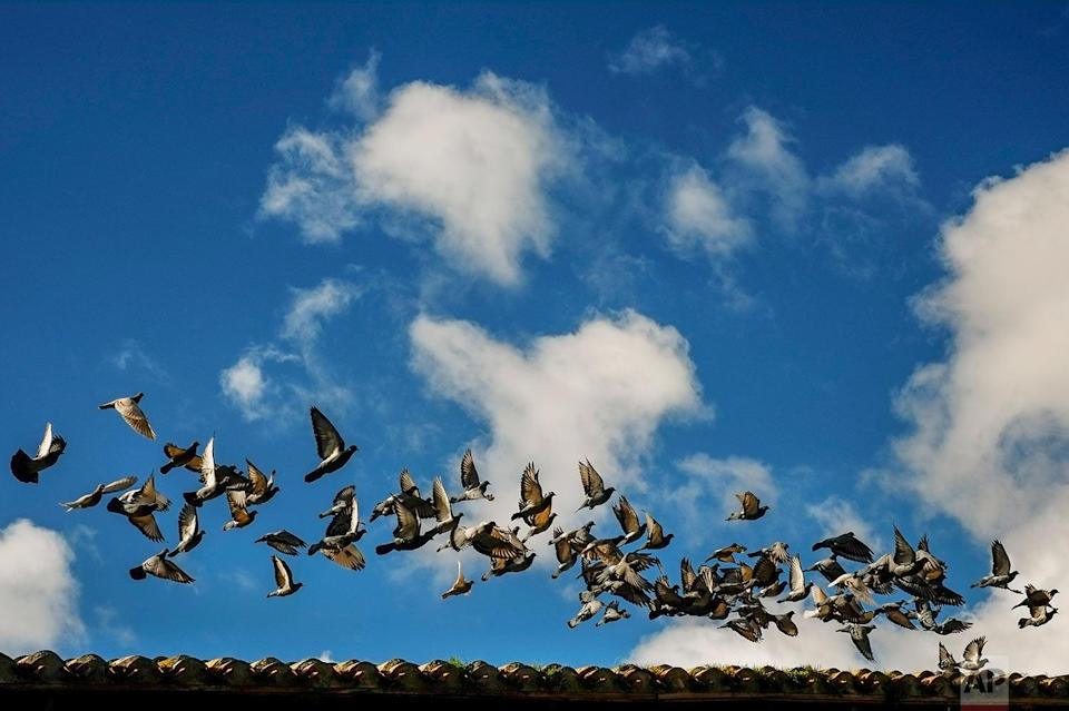 <p>A group of pigeons fly over a tile roof during an autumn day, in Pamplona, northern Spain. (AP Photo/Alvaro Barrientos) </p>