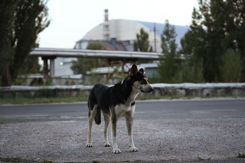 A tagged, stray dog stands near the new, giant enclosure that covers devastated reactor number four at the Chernobyl nuclear power plant on August 17, 2017.