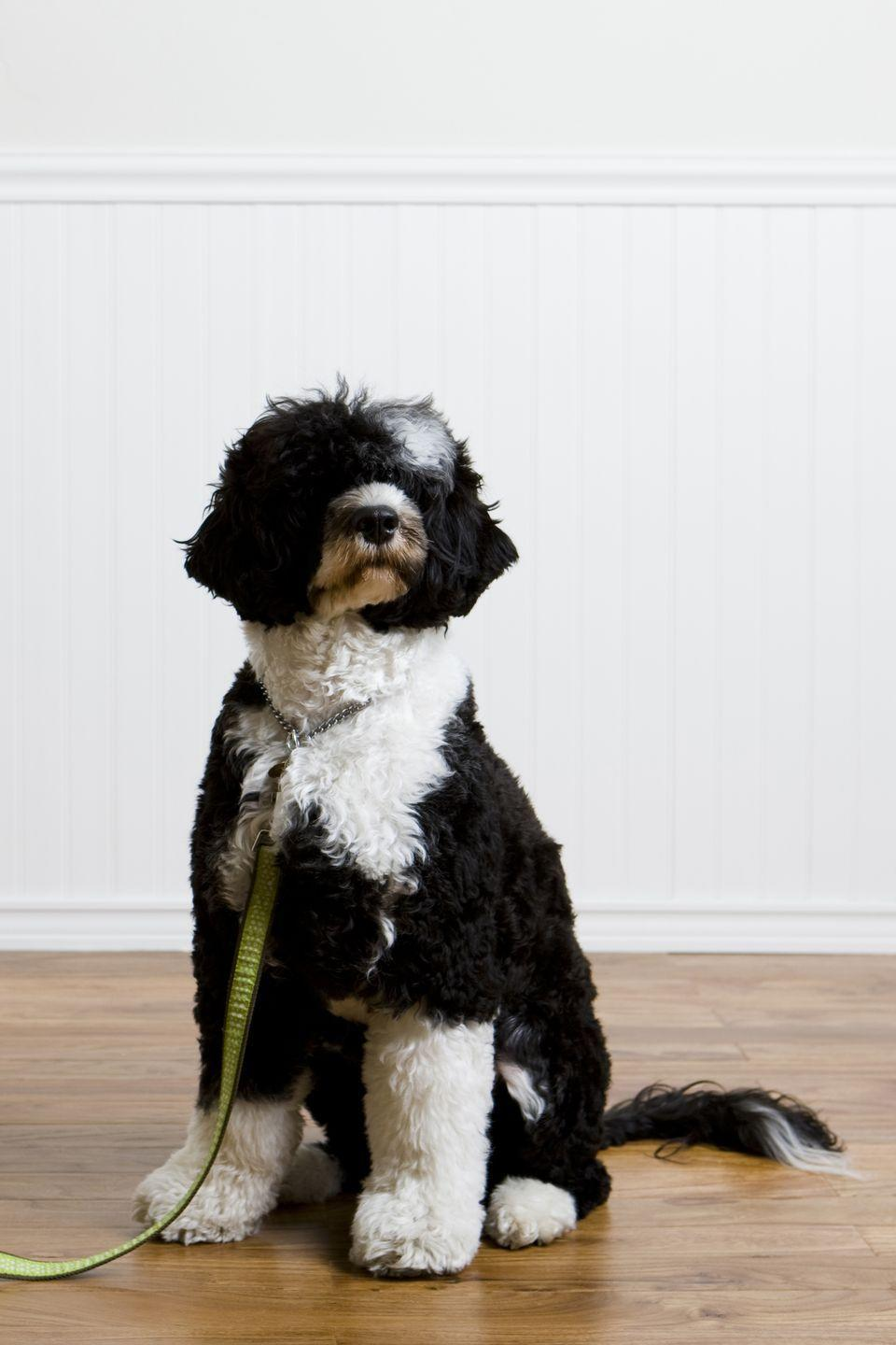 """<p>If you recognize these medium-sized furballs, here's why. """"First Dogs"""" Sunny and Bo Obama helped put the curly-haired <a href=""""https://www.goodhousekeeping.com/life/pets/advice/g1825/medium-sized-dogs/?slide=17"""" rel=""""nofollow noopener"""" target=""""_blank"""" data-ylk=""""slk:Portugese water dogs"""" class=""""link rapid-noclick-resp"""">Portugese water dogs</a> in the spotlight. Don't worry, their playful and laid-back personalities make great additions to any household. They even adapt well to apartment living for those in small spaces. </p>"""