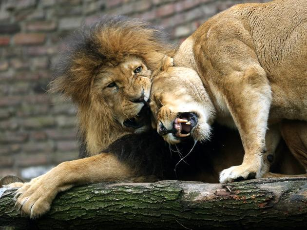 Two lions are pictured at the zoo in Duisburg, western Germany, on January 10, 2013. AFP PHOTO / ROLAND WEIHRAUCH