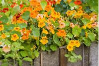 "<p>These bright annuals are easy to grow from seeds; soak overnight, then rub a file against the seed before planting to encourage quicker germination. They're slow to take off, but by late summer, you'll have tons of flowers. Nasturtiums come in both bush forms and climbing vines. Fun bonus: They're edible, with a slightly peppery kick that spices up salads. Nasturtiums require full sun.</p><p><a class=""link rapid-noclick-resp"" href=""https://www.amazon.com/dp/B078GPFMRR/ref=twister_B07W734Y14?_encoding=UTF8&th=1&tag=syn-yahoo-20&ascsubtag=%5Bartid%7C10063.g.35370706%5Bsrc%7Cyahoo-us"" rel=""nofollow noopener"" target=""_blank"" data-ylk=""slk:SHOP NASTURTIUM SEEDS"">SHOP NASTURTIUM SEEDS</a></p>"