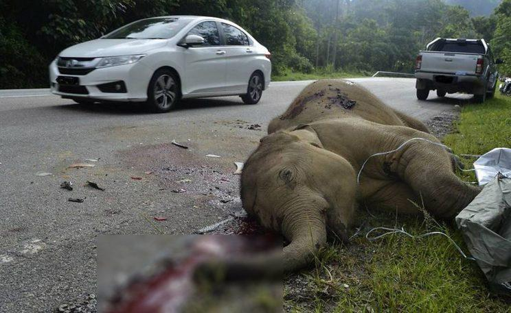 Baby elephant killed on Malaysian highway
