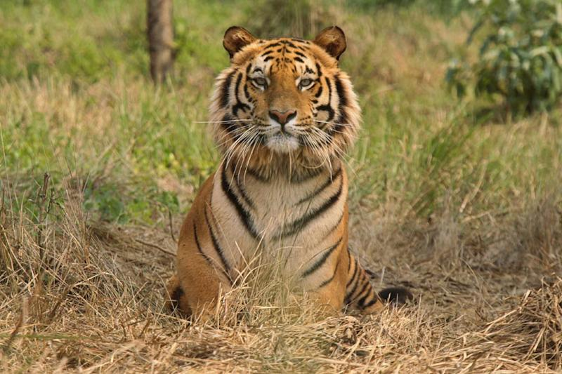HC Orders CBI Probe After Uttarakhand Forest Dept Cites Darwin's Survival Theory to Justify Tiger Deaths