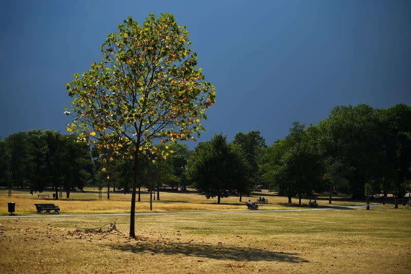 FILE PHOTO: A tree is seen in a sun-dried and parched Clapham Common, during hot weather in London