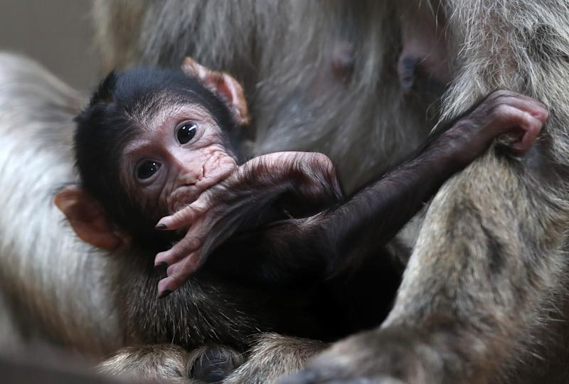 A young Barbary Macaque clings onto his mother, as staff at Blair Drummond Safari Park celebrate a baby boom with four primate births including two Barbary macaques, a critically endangered red ruffed Lemur and a ring tailed Lemur. (Photo by Andrew Milligan/PA Images via Getty Images)