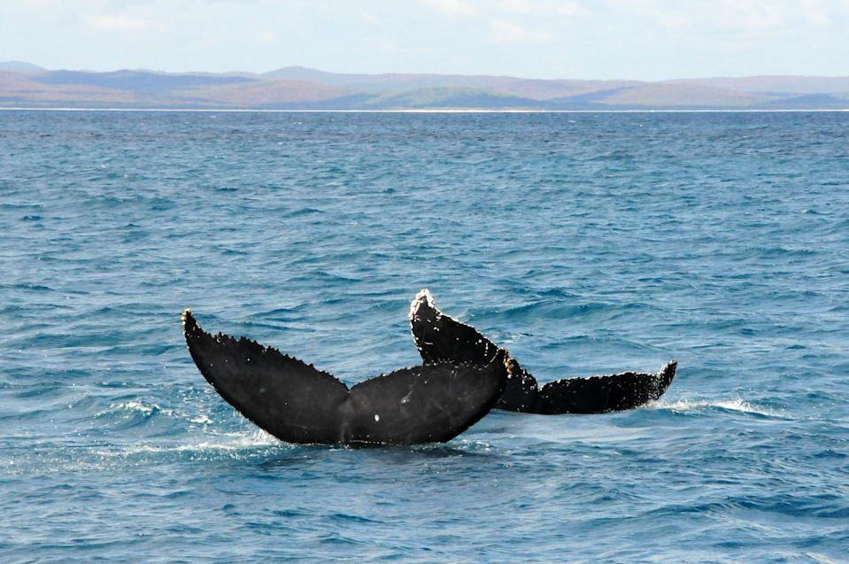 Two humpback whales showing off their tails, Hervey Bay, Queensland, Australia