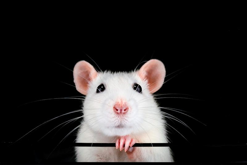 Cute white pet rat portrait with black background. Front on symmetrical view of face with paw under chin. Rattus norvegicus domestica.