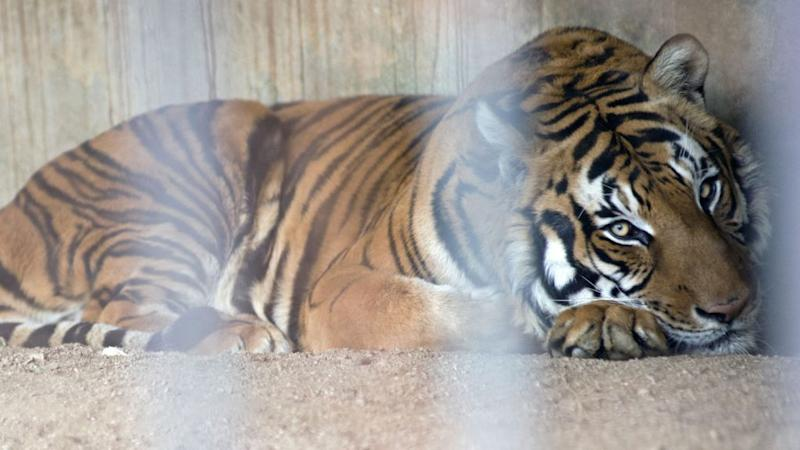 tiger in a cage at a zoo