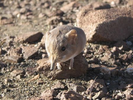 Handout of a Macroscelides micus elephant shrew found in the remote deserts of southwestern Africa