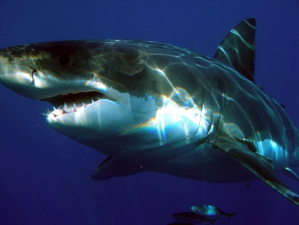 """Mammoth great white shark who was tagged in Canada just """"pinged"""" near Florida"""