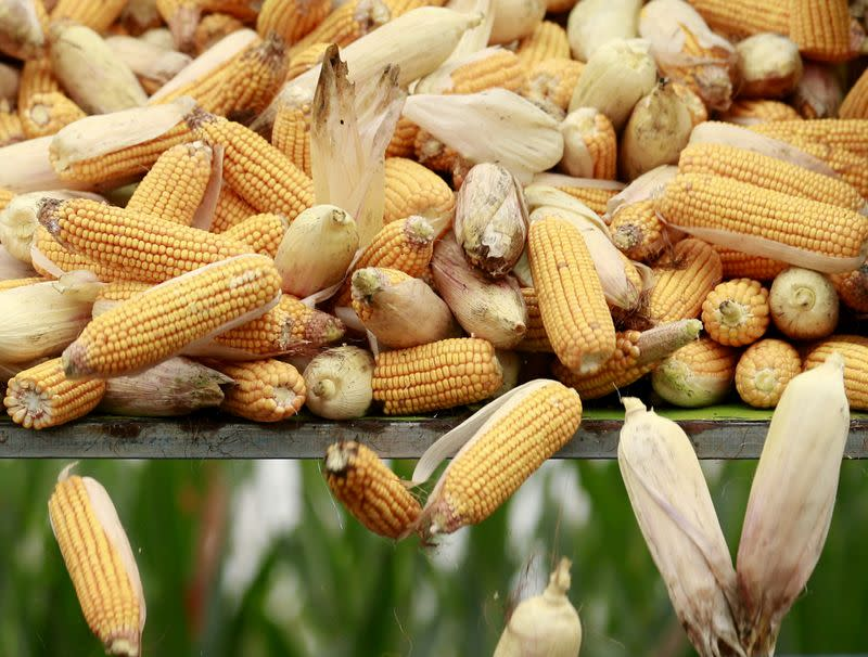 FILE PHOTO: A harvester unloads corn to a cargo truck at a farm in Gaocheng