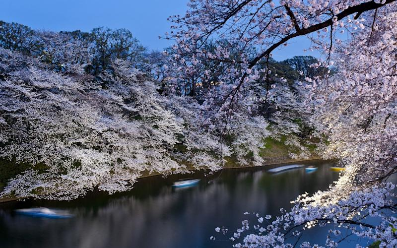 Japanese cherry blossom  - Credit: Keith Tsuji/Getty Images