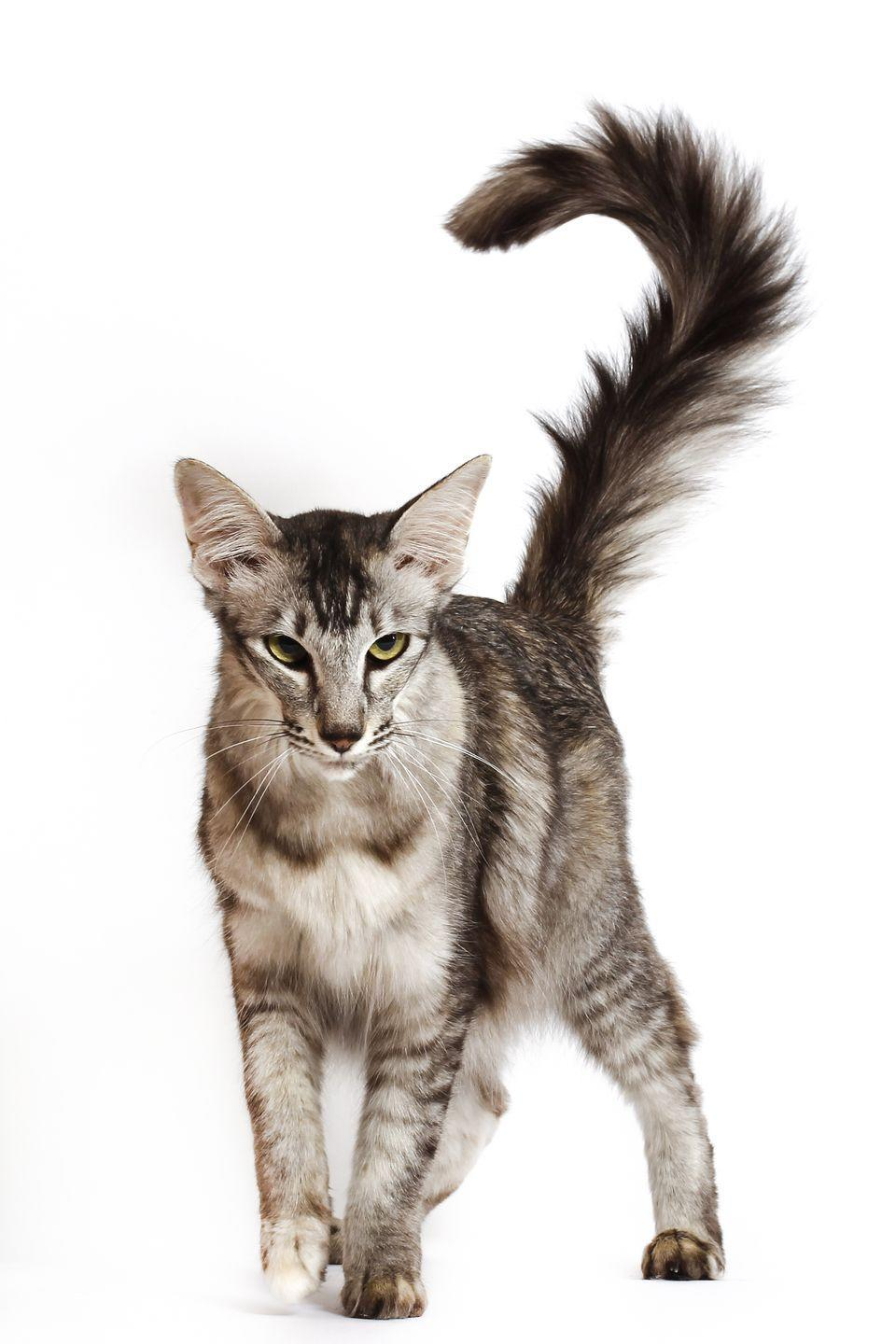 "<p>The Oriental Longhair <a href=""https://www.purina.co.uk/cats/cat-breeds/library/oriental-long-hair"" rel=""nofollow noopener"" target=""_blank"" data-ylk=""slk:loves company"" class=""link rapid-noclick-resp"">loves company</a>, so if you spend most of your day at work, maybe you should consider getting a pair. </p>"