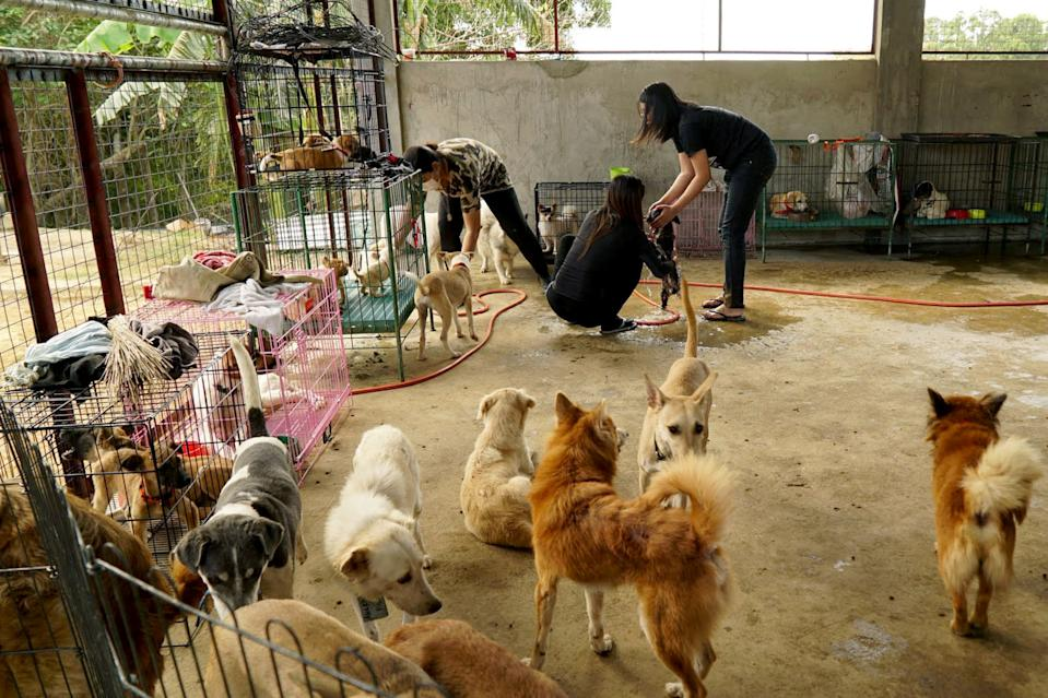 Volunteers at a makeshift shelter help dogs rescued from the exclusion zone surrounding Taal Volcano in Nasugbu, Batangas province, Philippines, January 21, 2020. REUTERS/Joseph Campbell