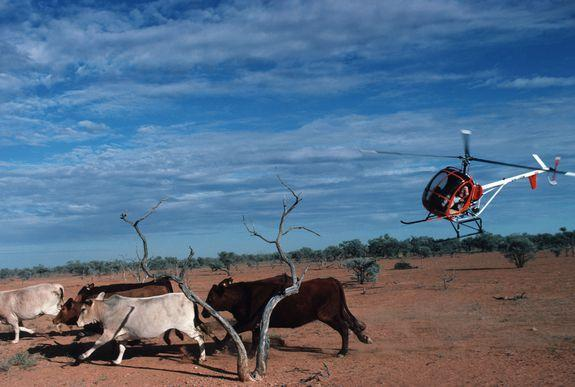 Mustering stock via helicopter is a necessity in certain parts of Australia where terrain is rough and properties huge.