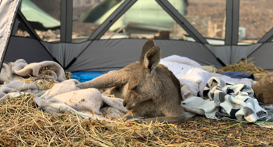 Clover lies on a bed of hay and a towels in a tent. The burnt ground can be seen in the background