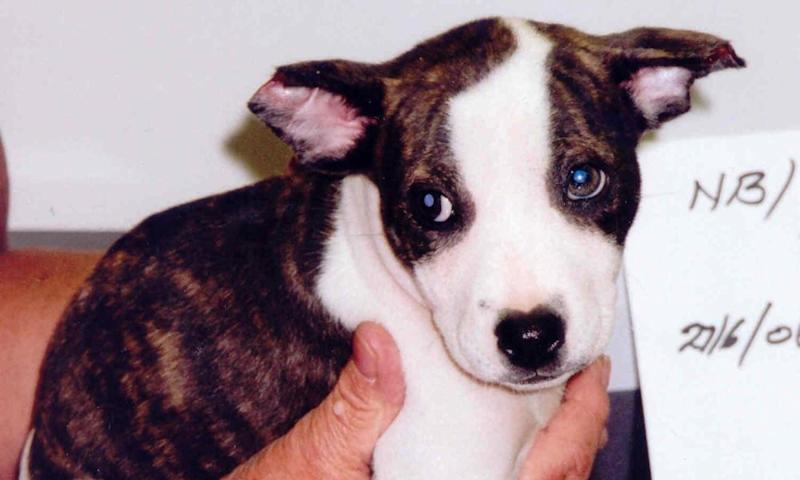 Puppy rescued by the RSPCA (2008). The charity received 84,994 complaints about dog welfare last year.