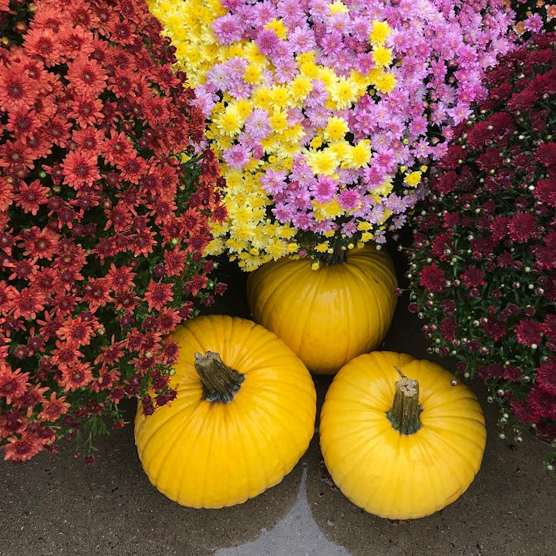 Three yellow pumpkins with purple, yellow, and red mums