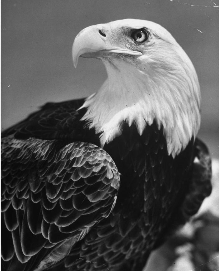 A trained American bald eagle posing for a picture in the 1940s.