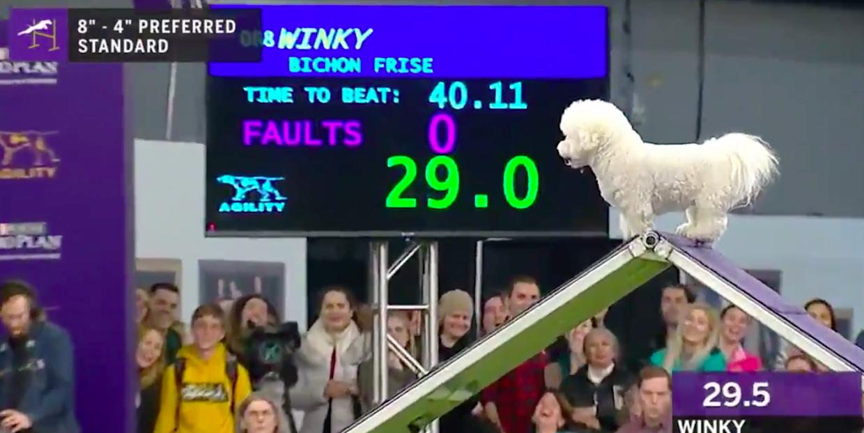Winky, the Unbothered Bichon Frise, Is My New Life Coach