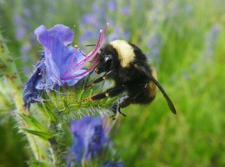 A yellow-banded bumblebee is seen in a photo provided by York University