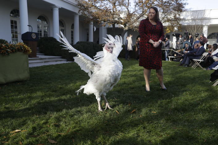 Butter, the national Thanksgiving turkey, walks in the Rose Garden before a ceremony when President Donald Trump will pardon both Bread and Butter at the White House, Tuesday, Nov. 26, 2019, in Washington. (AP Photo/ Evan Vucci)