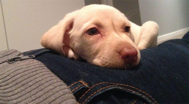 Police have released images of the eight-week-old puppy in the hopes someone has seen her. Picture: Victoria Police