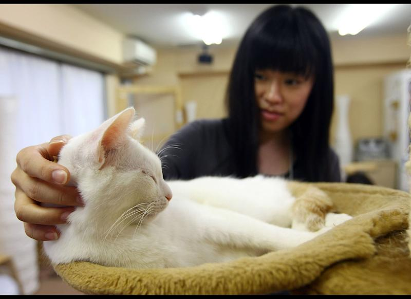 TOKYO - JANUARY 20: A woman strokes a cat at Nekorobi cat cafe on January 20, 2009 in Tokyo, Japan. Changes to Japan's Animal Protection Law threaten the future of these furry bars by imposing a curfew on cats and dogs. (Photo by Junko Kimura/Getty Images)