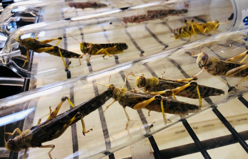 How to rid East Africa of locusts? Serve them in a kebab or drive them to cannibalism