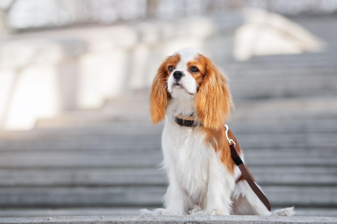 """<p>Combine the portable size of a toy breed with the verve of a sporting one and you get these adorable and lively companions. Cavaliers get along with just about everybody they come across, including kids and other dogs. (The silky-soft fur and heart-melting expression is just a bonus.) </p><p><strong>RELATED: </strong><a href=""""https://www.goodhousekeeping.com/life/pets/advice/g1829/toy-dog-breeds-miniature/"""" target=""""_blank"""">15 Miniature Dog Breeds That Are Just Too Cute</a></p>"""