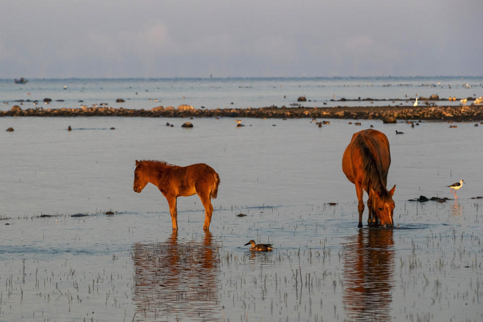 Waterbirds are seen next to a grazing horse and a foal at the Pong Dam wetlands in Nagrota Suriyan, about 65km (40 miles) south of Dharmsala, India, Tuesday, Dec. 10, 2019. The Pong Wetlands host and support hundreds of migratory bird species in the winter months. (AP Photo/Ashwini Bhatia)