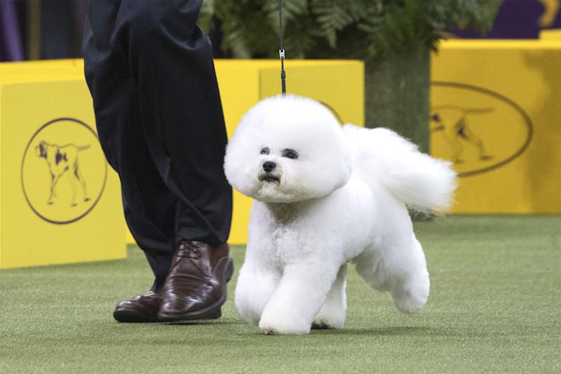 The 2018 Westminster Dog Show Best in Show Winner is Flynn the Bichon Frise
