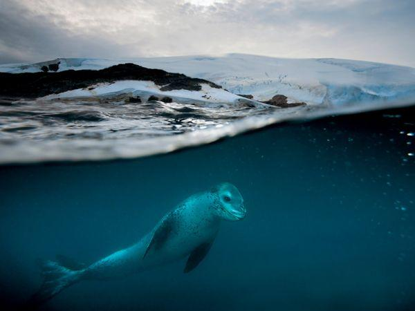 Propelled by curiosity and powerful flippers, a leopard seal patrols a penguin rookery near Anvers Island, Antarctica. Solitary as adults, leopard seals roam so widely in the pack ice that little is known of their biology or even their numbers. Estimates range from 200,000 to 400,000.