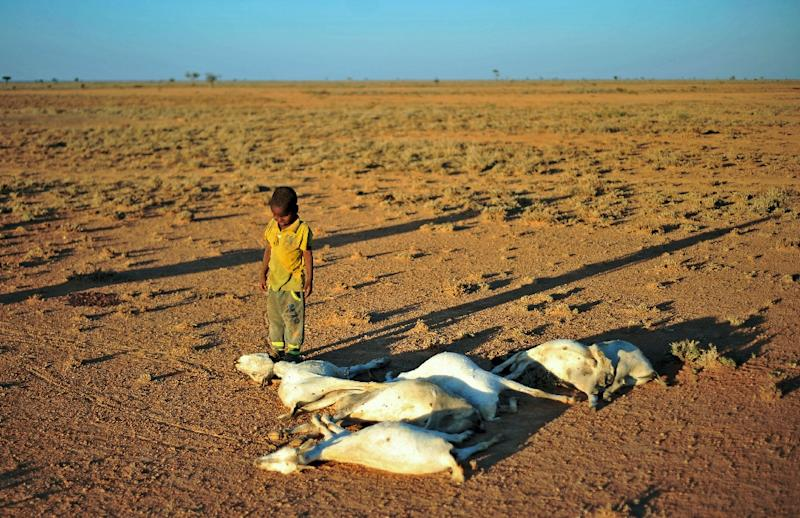 A boy looks at a flock of dead goats in a dry land close to Dhahar in Puntland, northeastern Somalia, on December 15, 2016