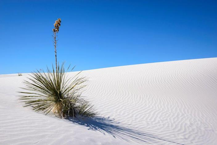 <p>Upgraded from a national monument to a national park in 2019, a lone yucca sits on a a dune in White Sands National Park, New Mexico. // January 16, 2014 </p>