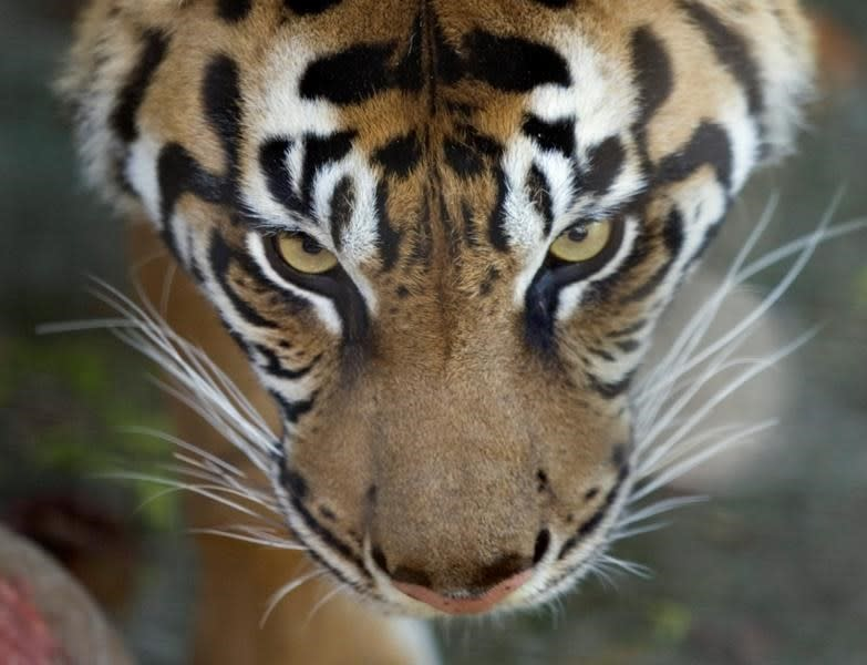 Toronto Zoo taking precautions with big cats after tiger in N.Y. gets COVID-19