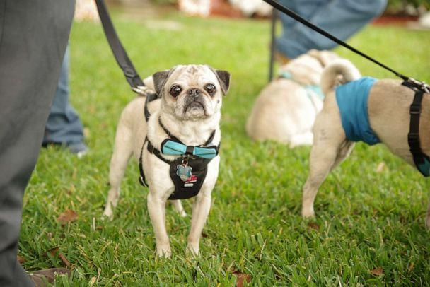 PHOTO: Pugs at Michelle Dodds' wedding on Jan. 4, 2020, were decked out in bow-ties and matching leashes. (Mike Wacht Photography)