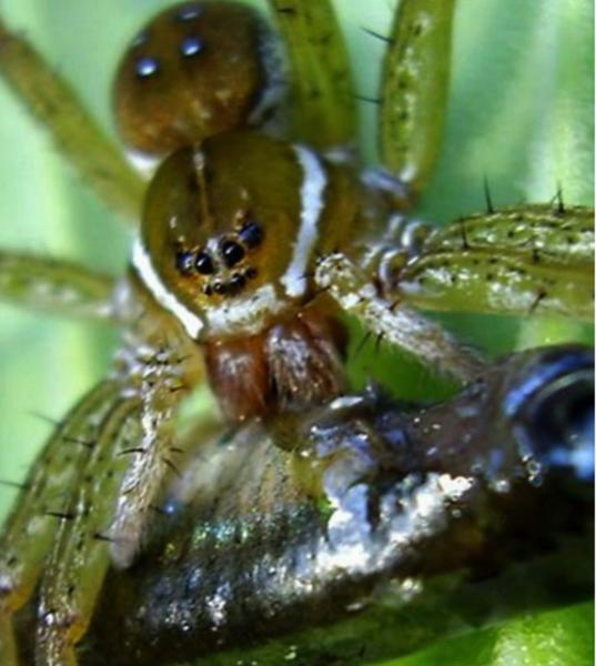 A six-spotted fishing spider (<em>Dolomedes triton</em>) was photographed feeding on what's likely mosquitofish (<em>Gambusia holbrooki</em>) in a garden pond near Lady Lake, Florida.