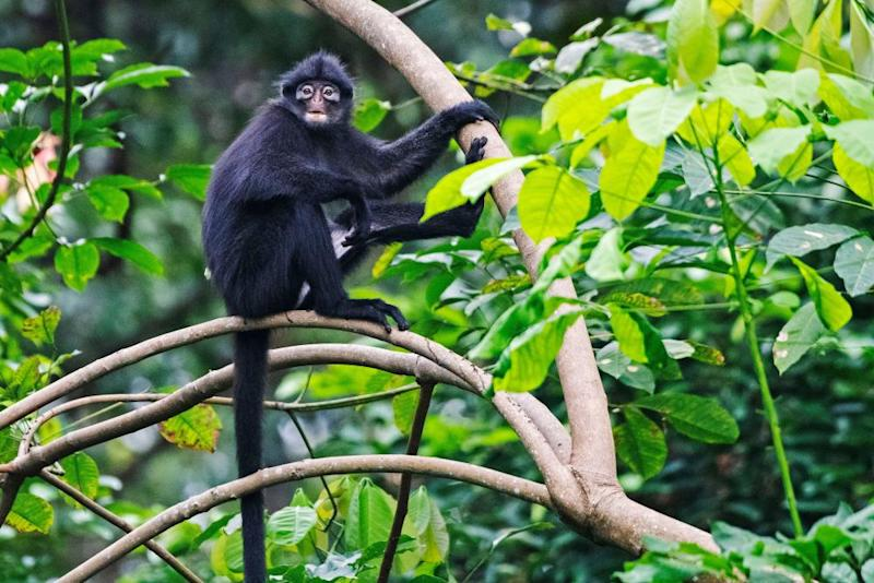 A banded langur rests on branches in Singapore's Central Catchment Nature Reserve.