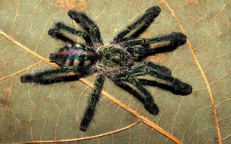Ybyrapora diversipes was once considered to be in the Avicularia genus, but new research establishes a new genus for this iridescent specimen from the Brazilian Atlantic rainforest