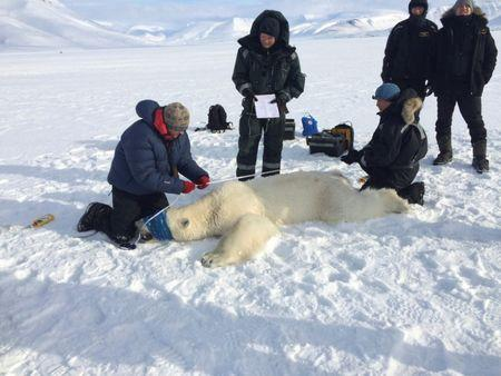 Officials from the Governor of Svalbard's office inspect a three year-old male polar bear after it was sedated near Longyearbyen, Norway, April 22, 2016. Governor of Svalbard Office/Handout via REUTERS