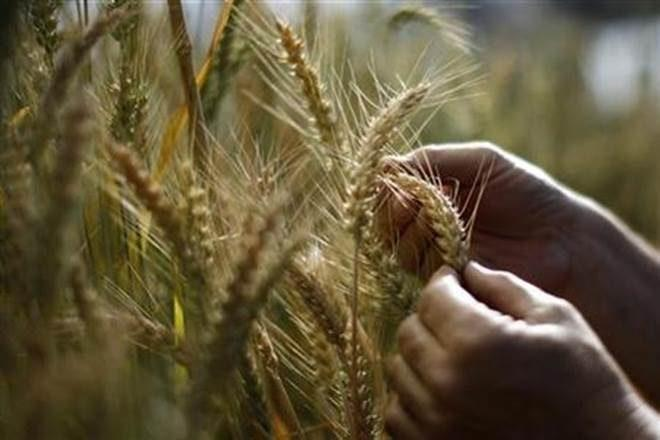 The rabi rice acreage is recorded lower by 23.24% at 26.1 lakh hectare against 34 lakh hectare last year