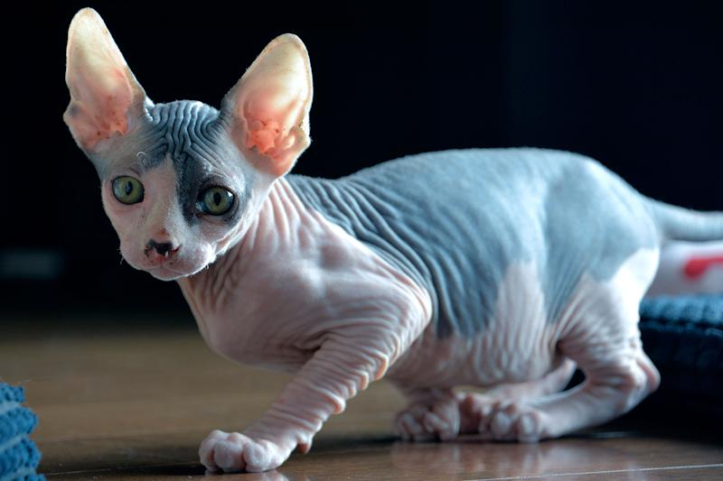 Hairless Cat To Breed Craigslist