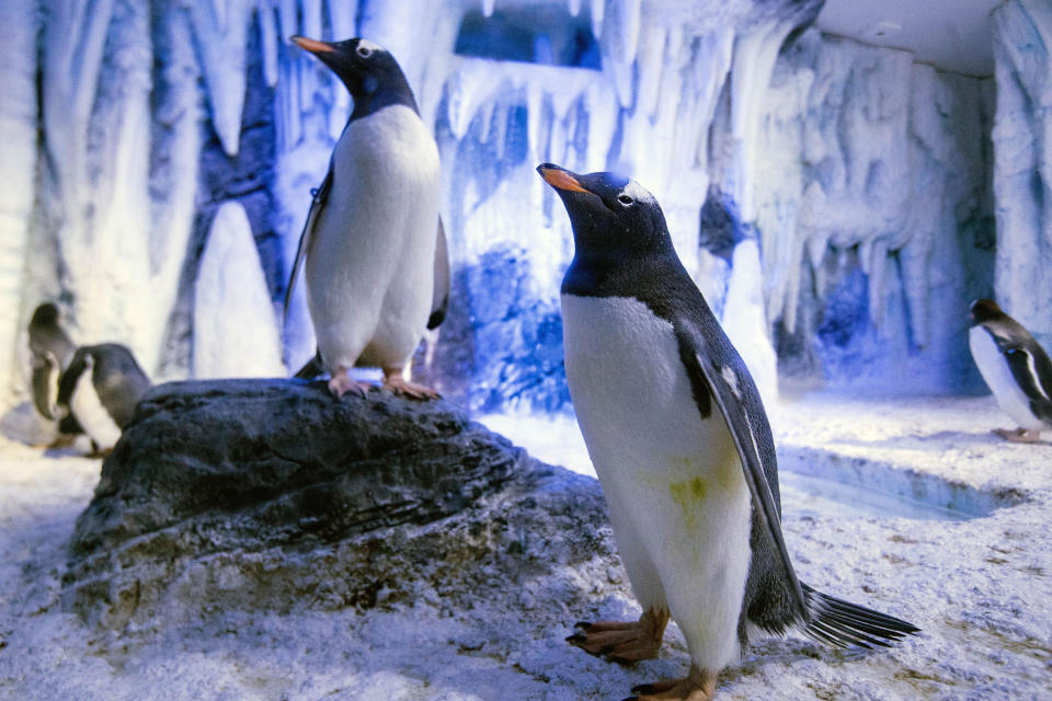 <p>Eight Gentoo penguins arriving at the Sea Life London Aquarium from the centre in Birmingham as part of a European wide breeding programme. (PA) </p>