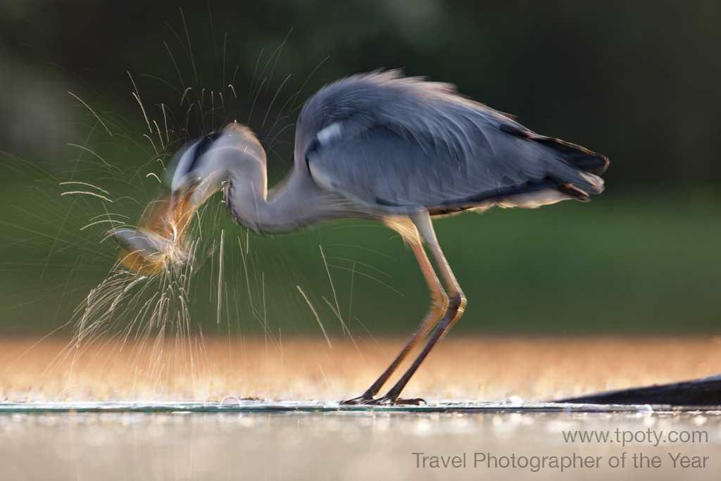 Kiskunsagi National park, Hungary - <br>Grey heron <br><br>Sue Flood, UK<br><br>Camera: Canon 1DS3 <br><br>Special Mention, Wild Planet
